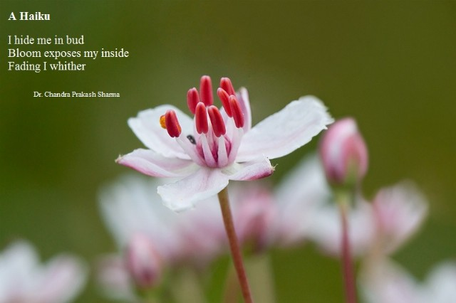 haiku poems about flowers - photo #17