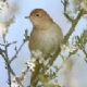 PERSIAN NIGHTINGALE